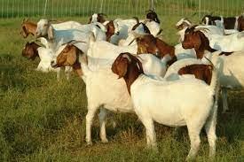 ಗಿರಿಜನ ಉಪಯೋಜನೆಯಡಿಯಲ್ಲಿ ಕುರಿ sheep goat Unit