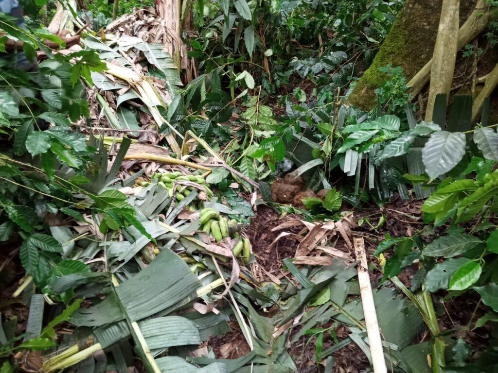 Plague Destruction of coffee and plantation 2 Madikeri