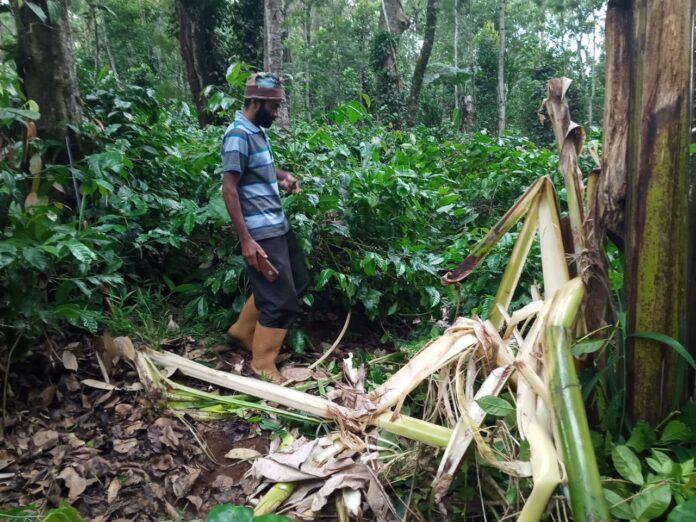 Plague Destruction of coffee and plantation